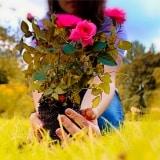 menanam kembali mawar